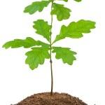 年轻的橡树 — 图库照片