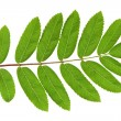 Rowan green leaf — Stock Photo
