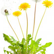 Dandelion — Stock Photo #3488598