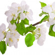 Flowering branch of apple-tree - Photo