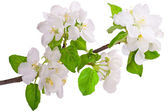 Flowering branch of apple-tree — Stock Photo