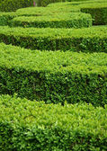 Boxwood hedge (Buxus sempervirens) — Stock Photo