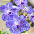 Dark blue orchid — Stock Photo #3311657