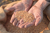 Wheat and hands of the old farmer — Stock Photo