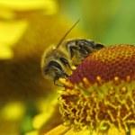 Bee - Honigbiene (Apis mellifica) auf Helenium-Hybride — Stock Photo