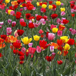 Tulip field in Lower Saxony, Germany — Stock Photo