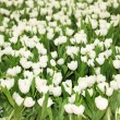 Tulip field with white tulips — Stock Photo #2756463