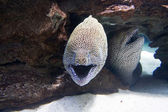 Two moray eels in the sea — Stock Photo