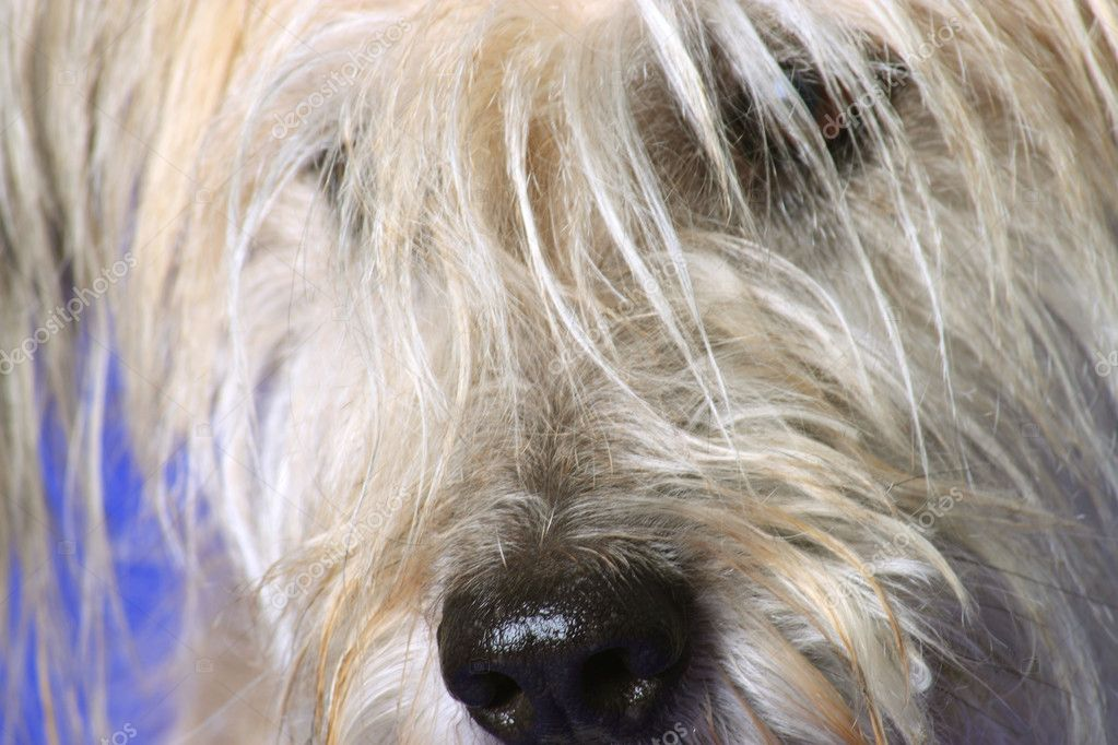 Fluffy Gos datura dog on blue  background — Stock Photo #2740418