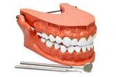 Teeth model — Stock Photo