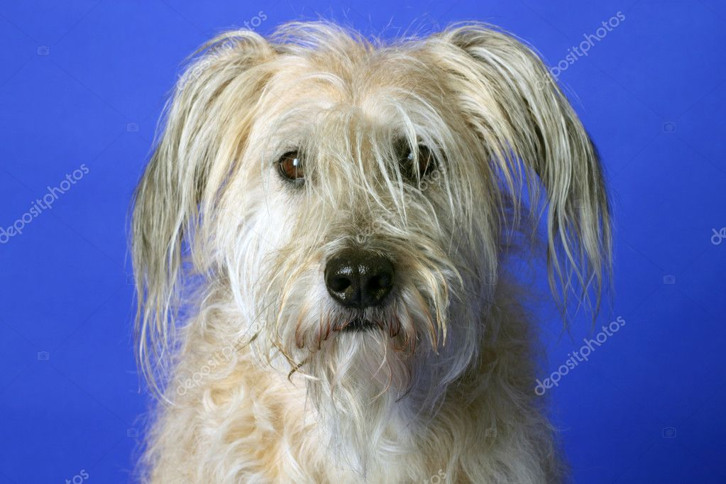 Fluffy Gos datura dog on blue  background — Stock Photo #2833625