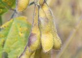 Unripened Soybeans — Stock Photo