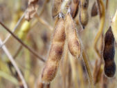Soybeans Ready for Harvest — Stock Photo