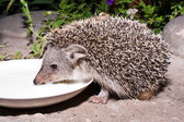 The hedgehog drinks milk — Stock Photo