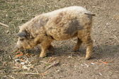 Hungarian mangalitsa pig — Stock Photo