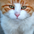 Portrait of an young red white cat — Stock Photo