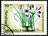 Postage stamp. The Flowerses allium polyrrchizum. — Stock Photo