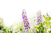 Watercolored lupine — Stockfoto