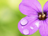 Waterdrops on flower — Stock Photo