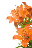 Tiger lily — Stock Photo