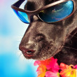 Funny labrador mix dog wearing lei and sunglasses — 图库照片