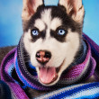Siberian husky puppy dressed for winter — Stock Photo