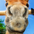 Stock Photo: Funny closeup of pony looking at camera