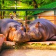 HDR image of two hippos at a zoo taking a nap - Stok fotoğraf