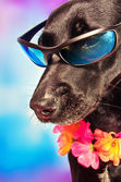 Funny labrador mix dog wearing lei and sunglasses — Stock Photo