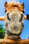 Funny closeup of a pony looking at the camera — Stock Photo