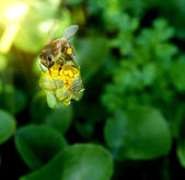 Bee on the yellow flower — Stock Photo