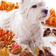 Stock Photo: West Highland White Terrier