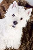 West Highland White Terrier — Zdjęcie stockowe