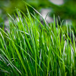 Stock Photo: Dark green grass