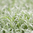 White grass — Stock Photo
