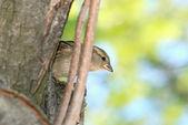 A field sparrow between the bkrok. — Stock Photo