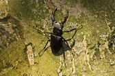 Stag Beetle — Stock Photo