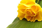 Yellow rose and green leaf — Stock Photo