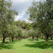 Olive trees rows - Foto Stock