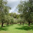 Foto Stock: Olive trees rows