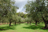 Olive trees rows — Stock Photo