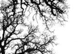 橡木树剪影 — 图库照片