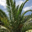 Palm tree branches — Stock Photo