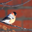 Bullfinch on a branch — Stock Photo