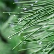 Raindrops on pine needles — Stock Photo