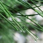 Raindrops on pine needles — Stock Photo