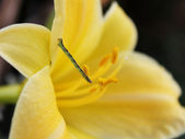 Yellow lily and a caterpillar — Stock Photo