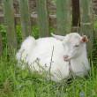 White goatling — Stock Photo
