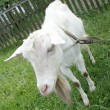 Stock Photo: White nanny goat