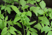 Tomato seedlings — Stock Photo